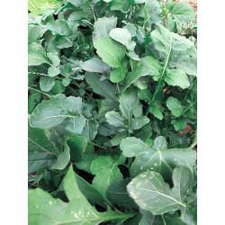 Roquette Cultivée bio 1g
