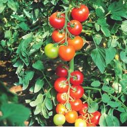 Tomate Diplom F1 bio (10 graines)