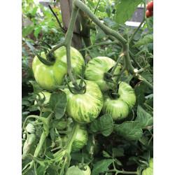 Tomate Green Zebra bio 0,18g