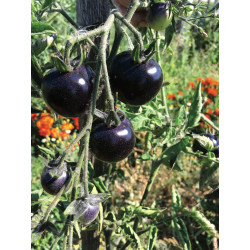 Tomate Indigo Rose (10 graines)
