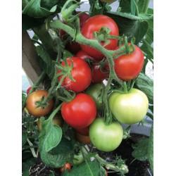 Tomate Matina bio 0,1g