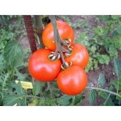Tomate Moneymaker bio 0,15g