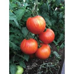 Tomate Tigrella Bicolore bio 0,2g