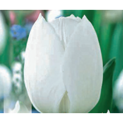 TULIPE TRIOMPHE ROYAL VIRGIN