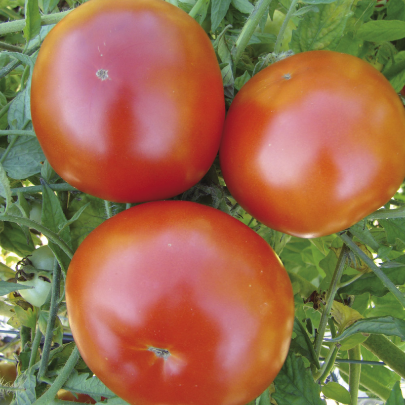 Tomate Ste-Lucie bio 0,1g