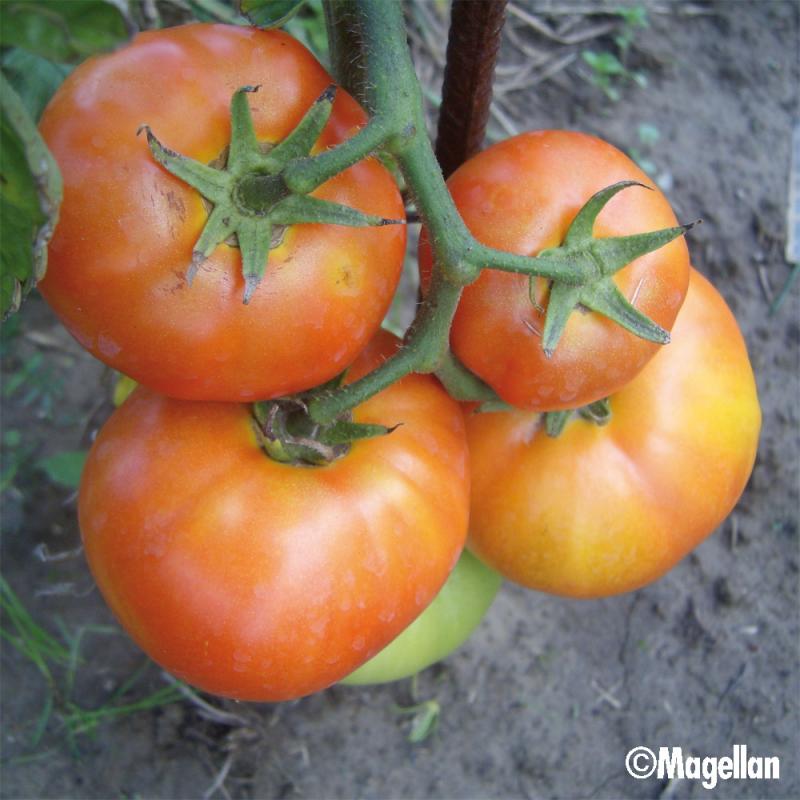 Tomate Reine de Ste-Marthe bio 0,1g