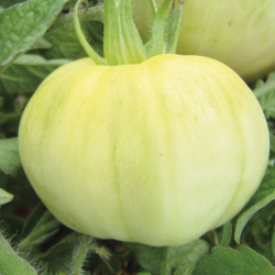 Tomate Beauté Blanche bio 0,05g