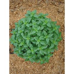 Basilic fin vert petites feuilles bio 1g