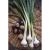 Oignon Long white Ishikura bio 2.5g