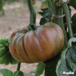 Tomate Purple Calabash bio 0,2g