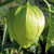 Physalis Tomatillo du Mexique bio 0,05g