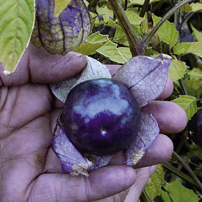 Physalis Tomatillo Violet bio 0,15g