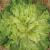 Chicorée scarole Grosse Bouclée 2 bio 1g