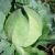 Chou cabus Coeur de Boeuf des Vertus bio 1g
