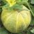 Melon Ananas d'Amérique à Chair Rouge bio 0,5g