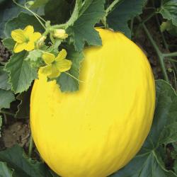 Melon Jaune Canari 2 bio 0,5g