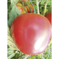 Tomate Pomme Rouge bio 0,2g