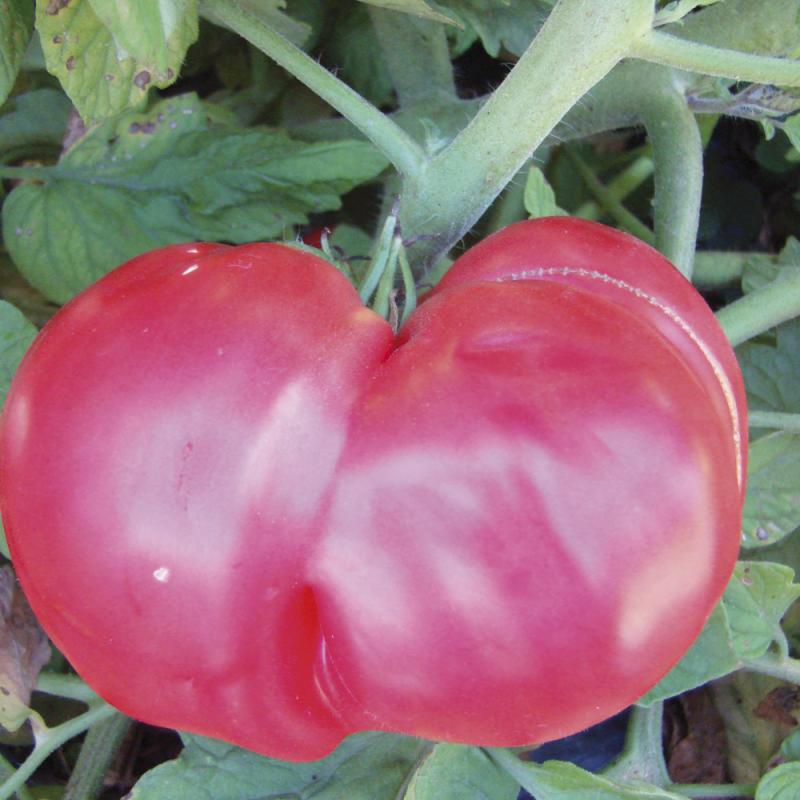 Tomate Brandywine bio 0,25g