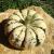 Courge Sweet Dumpling bio 0,8g