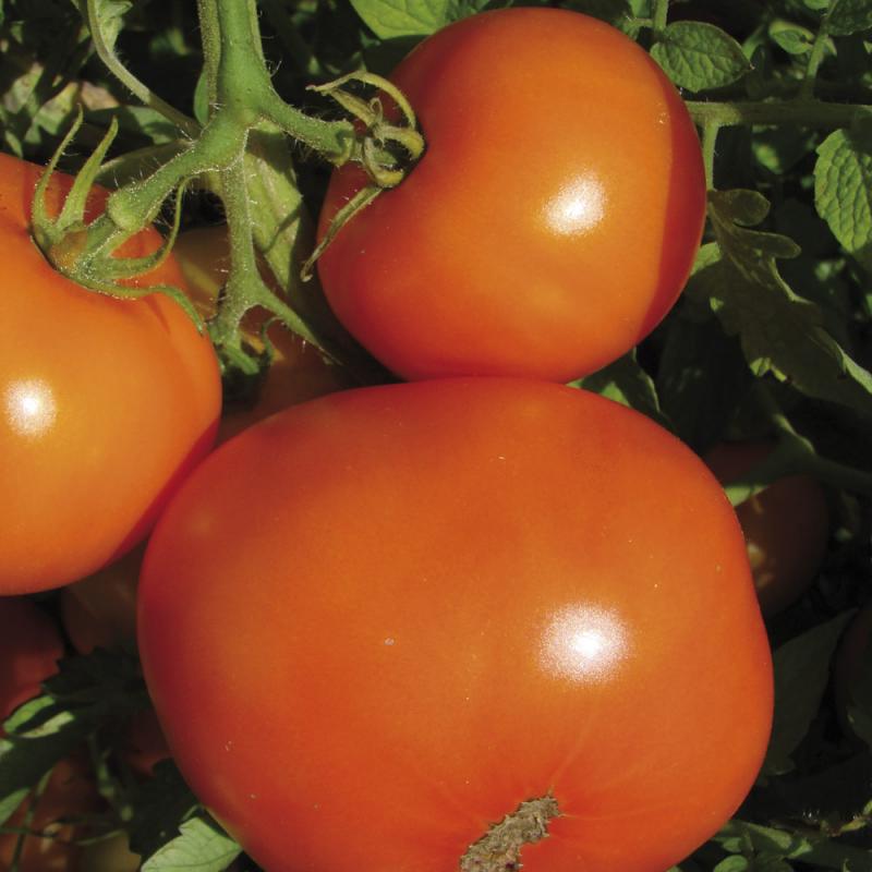 Tomate La Carotina bio 0,12g