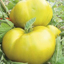 Tomate Evergreen bio 0,2g