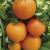 Tomate Orange Bourgoin bio 0,05g