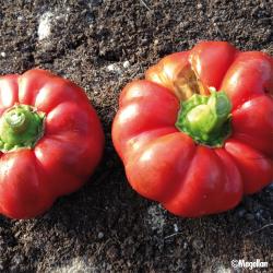 Piment Tomate bio 0,25g