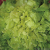 Chicorée scarole Blonde à Coeur Plein bio 1g