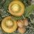 Chou Navet Rutabaga Golden Ball bio 2g