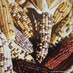 Maïs d'ornement Couleurs variées bio 3g