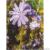 Chicorée sauvage bio 1,5g