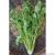 Celeri branche d'Elne bio 0,25g