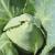 Chou cabus Précoce de Louviers bio 1g