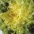Chicorée frisée d'été à Coeur Jaune bio 1g