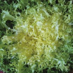 Chicorée frisée de Meaux bio 1g