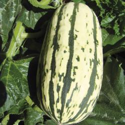 Courge Delicata bio 1,9g