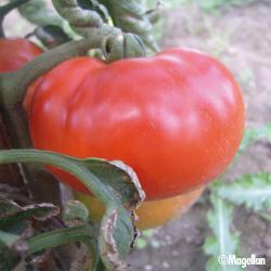 Tomate Ace 55 VF bio 0,25g