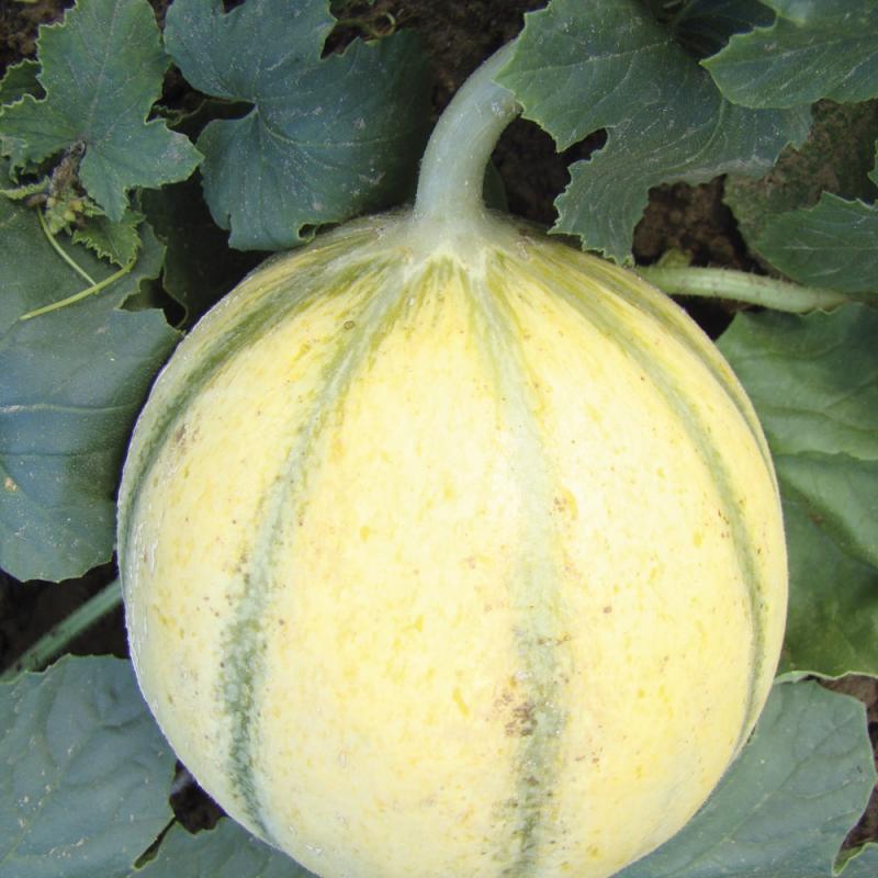 Melon Super Précoce du Roc bio 0,5g
