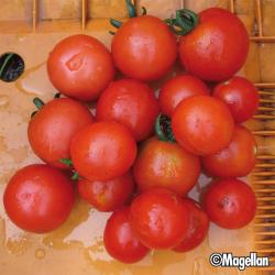 Tomate Gardener's Delight bio 0,1g