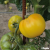 Tomate Golden Jubilee bio 0,25g