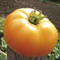 Tomate Jaune St Vincent bio 0,2g