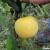 Tomate Mirabelle Blanche bio 0,1g