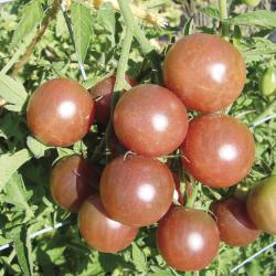 Tomate Black Cherry bio 0,1g