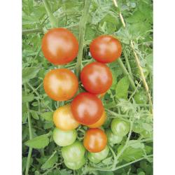 Tomate Royale des Guineaux bio 0,08g