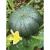 Courge musquée De Provence bio 1,5g