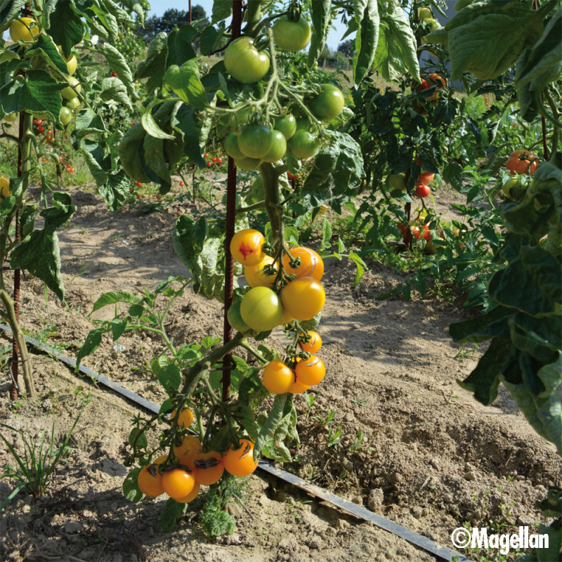 Tomate Yellow Perfection bio 0,1g