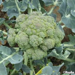 Chou brocoli Belstar F1 bio (100 graines)