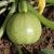 Courgette Géode F1 bio (15 graines)
