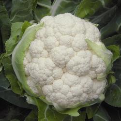 Chou-fleur Belot F1 bio (50 graines)