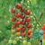 Tomate Sakura F1 bio (5 graines)